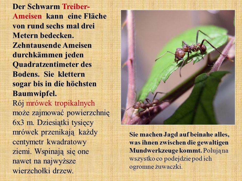 Der Schwarm Treiber- Ameisen kann eine Fläche von rund sechs mal drei Metern bedecken.