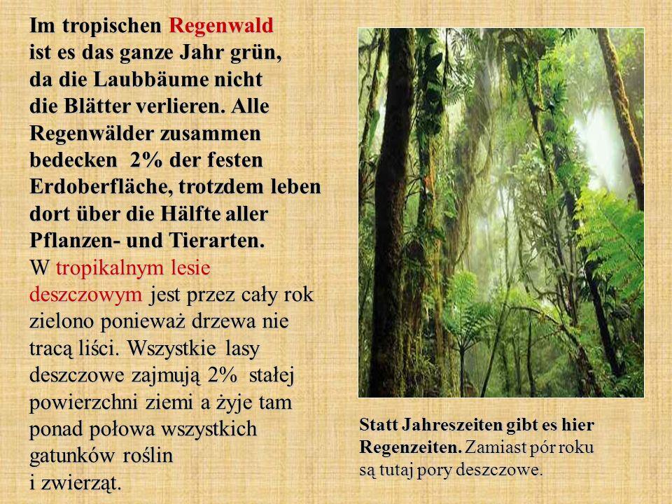 Im tropischen Regenwald ist es das ganze Jahr grün, da die Laubbäume nicht die Blätter verlieren.
