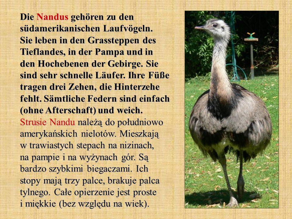 Die Nandus gehören zu den südamerikanischen Laufvögeln. Sie leben in den Grassteppen des Tieflandes, in der Pampa und in den Hochebenen der Gebirge. S