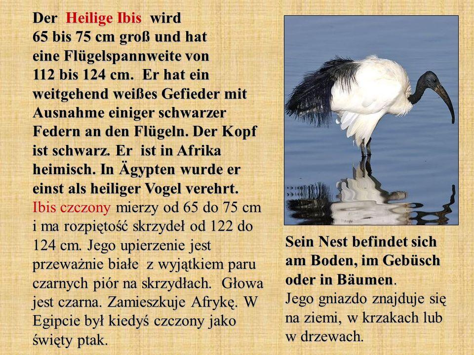 Der Heilige Ibis wird 65 bis 75 cm groß und hat eine Flügelspannweite von 112 bis 124 cm. Er hat ein weitgehend weißes Gefieder mit Ausnahme einiger s