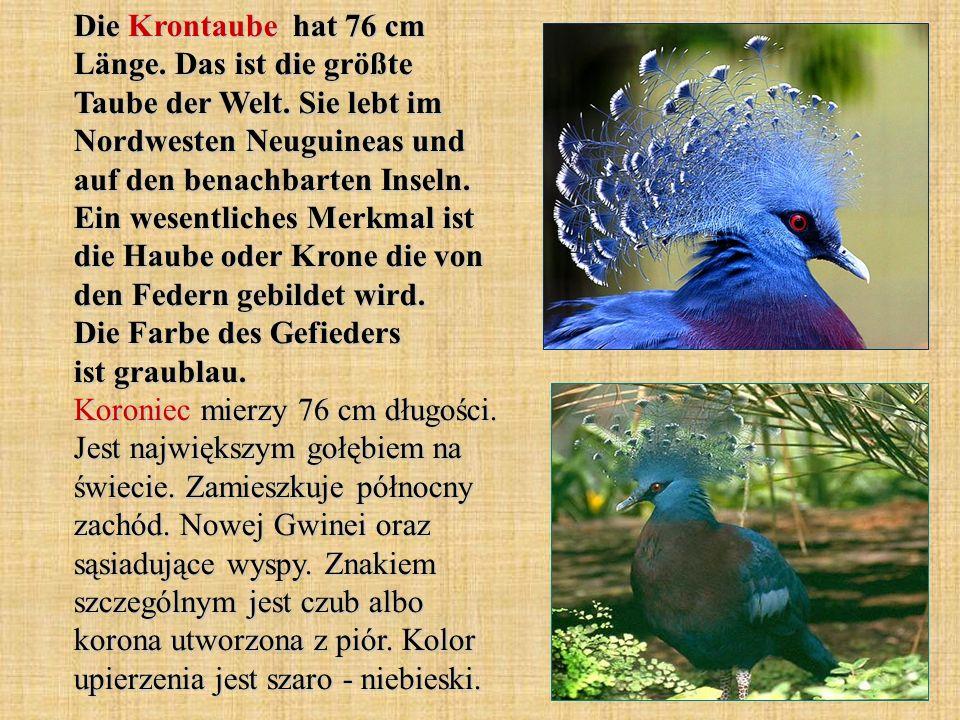 Die Krontaube hat 76 cm Länge. Das ist die größte Taube der Welt. Sie lebt im Nordwesten Neuguineas und auf den benachbarten Inseln. Ein wesentliches