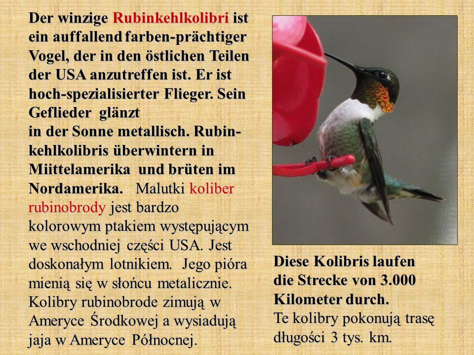 Der winzige Rubinkehlkolibri ist ein auffallend farben-prächtiger Vogel, der in den östlichen Teilen der USA anzutreffen ist. Er ist hoch-spezialisier