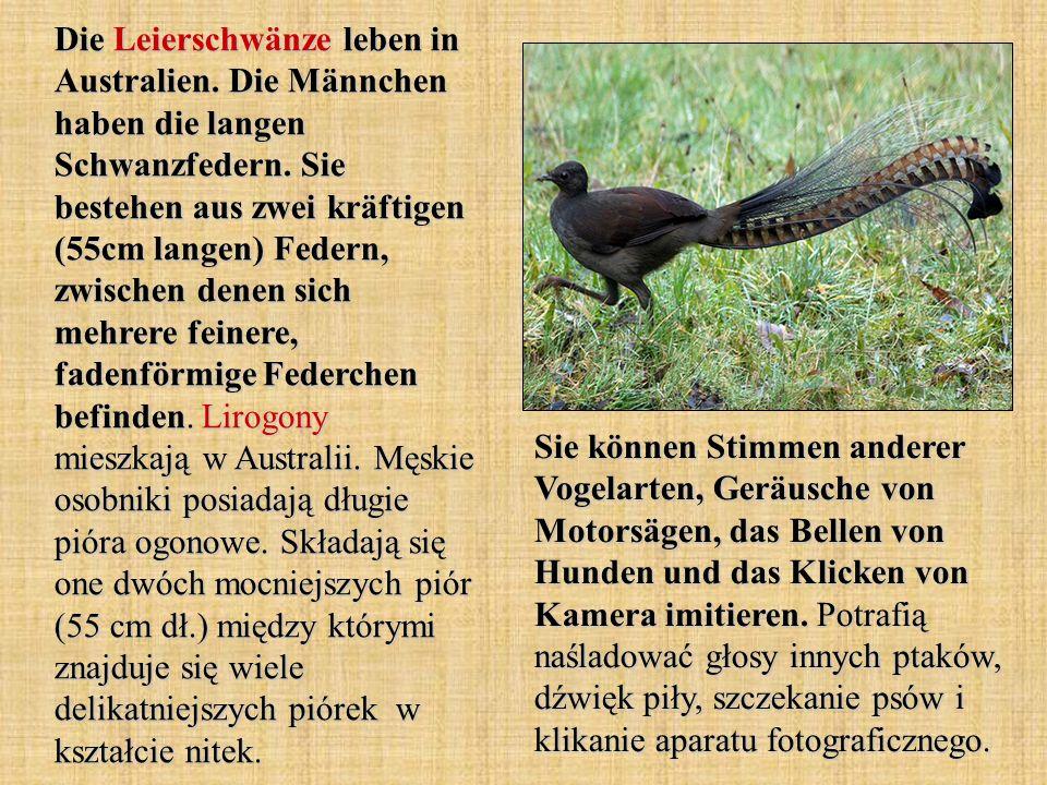 Die Leierschwänze leben in Australien. Die Männchen haben die langen Schwanzfedern. Sie bestehen aus zwei kräftigen (55cm langen) Federn, zwischen den