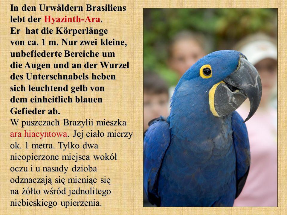 In den Urwäldern Brasiliens lebt der Hyazinth-Ara. Er hat die Körperlänge von ca. 1 m. Nur zwei kleine, unbefiederte Bereiche um die Augen und an der