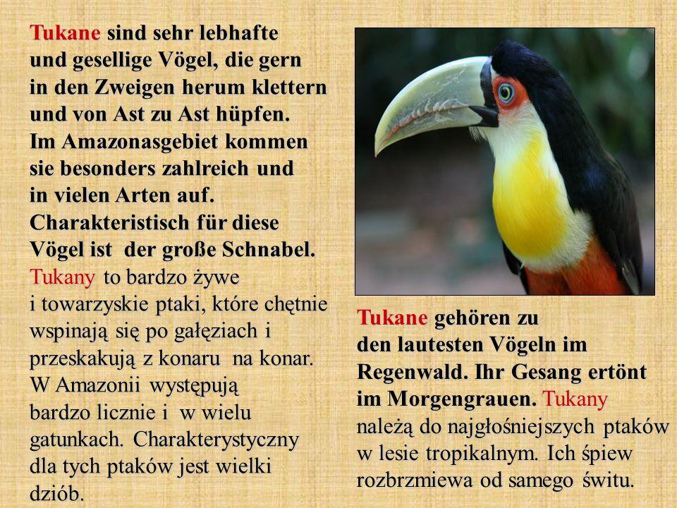 Tukane sind sehr lebhafte und gesellige Vögel, die gern in den Zweigen herum klettern und von Ast zu Ast hüpfen. Im Amazonasgebiet kommen sie besonder