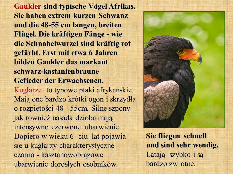 Gaukler sind typische Vögel Afrikas. Sie haben extrem kurzen Schwanz und die 48-55 cm langen, breiten Flügel. Die kräftigen Fänge - wie die Schnabelwu