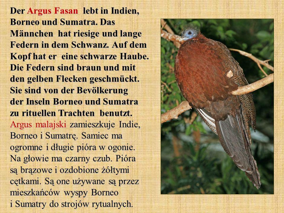 Der Argus Fasan lebt in Indien, Borneo und Sumatra. Das Männchen hat riesige und lange Federn in dem Schwanz. Auf dem Kopf hat er eine schwarze Haube.