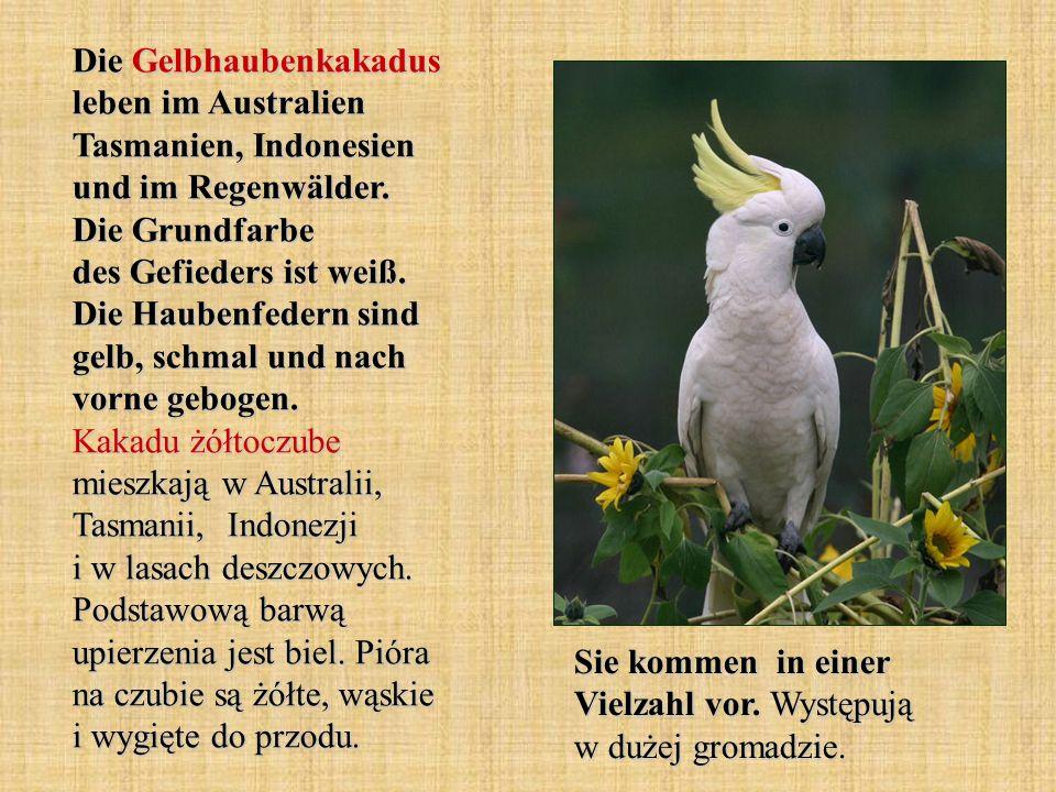 Die Gelbhaubenkakadus leben im Australien Tasmanien, Indonesien und im Regenwälder. Die Grundfarbe des Gefieders ist weiß. Die Haubenfedern sind gelb,