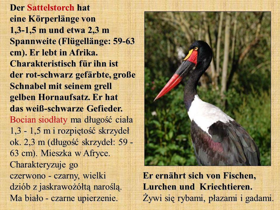 Der Sattelstorch hat eine Körperlänge von 1,3-1,5 m und etwa 2,3 m Spannweite (Flügellänge: 59-63 cm). Er lebt in Afrika. Charakteristisch für ihn ist