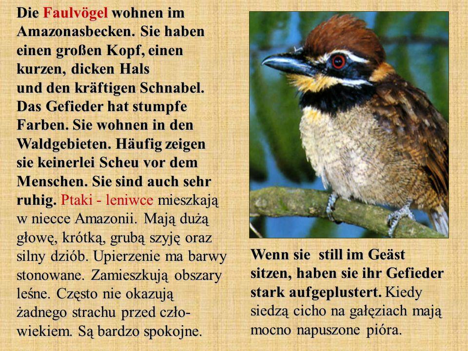 Die Faulvögel wohnen im Amazonasbecken. Sie haben einen großen Kopf, einen kurzen, dicken Hals und den kräftigen Schnabel. Das Gefieder hat stumpfe Fa