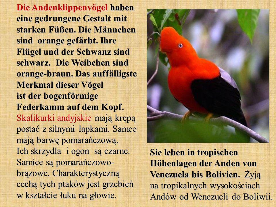 Die Andenklippenvögel haben eine gedrungene Gestalt mit starken Füßen. Die Männchen sind orange gefärbt. Ihre Flügel und der Schwanz sind schwarz. Die