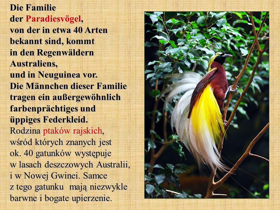 Die Familie der Paradiesvögel, von der in etwa 40 Arten bekannt sind, kommt in den Regenwäldern Australiens, und in Neuguinea vor. Die Männchen dieser