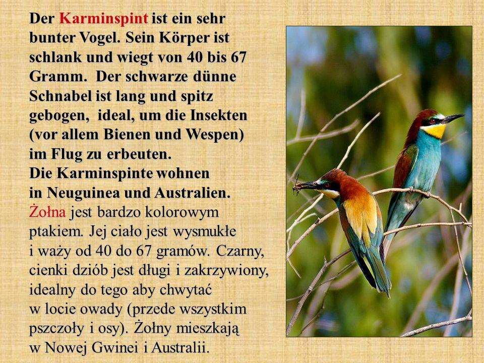 Der Karminspint ist ein sehr bunter Vogel. Sein Körper ist schlank und wiegt von 40 bis 67 Gramm. Der schwarze dünne Schnabel ist lang und spitz gebog