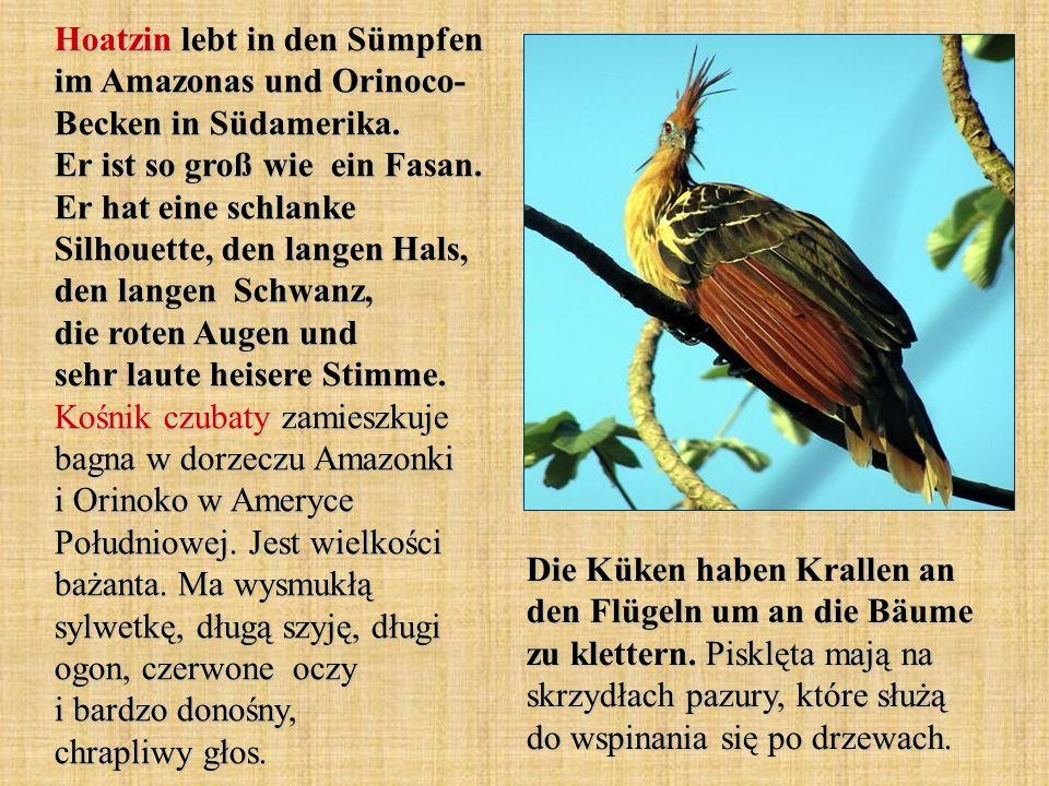 Die Küken haben Krallen an den Flügeln um an die Bäume zu klettern. Pisklęta mają na skrzydłach pazury, które służą do wspinania się po drzewach. Hoat
