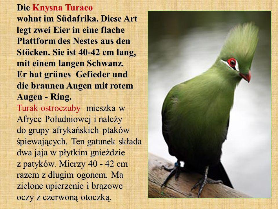 Die Knysna Turaco wohnt im Südafrika. Diese Art legt zwei Eier in eine flache Plattform des Nestes aus den Stöcken. Sie ist 40-42 cm lang, mit einem l
