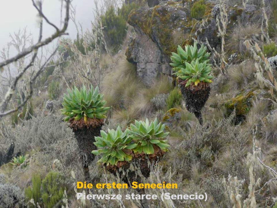 Kniphofia thomsonii ( Fackellilie)