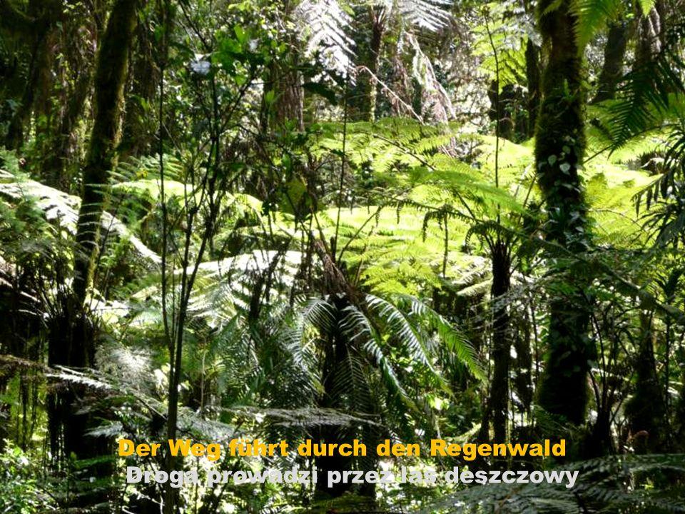 Der Weg führt durch den Regenwald Droga prowadzi przez las deszczowy