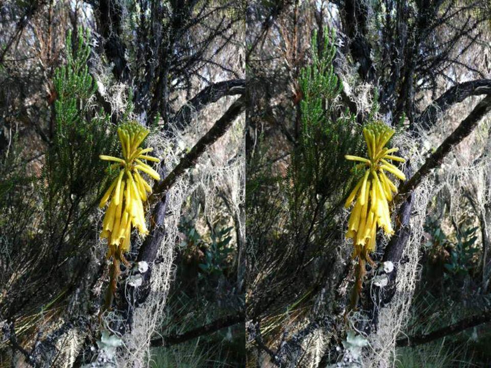 Protea kilimanjarica
