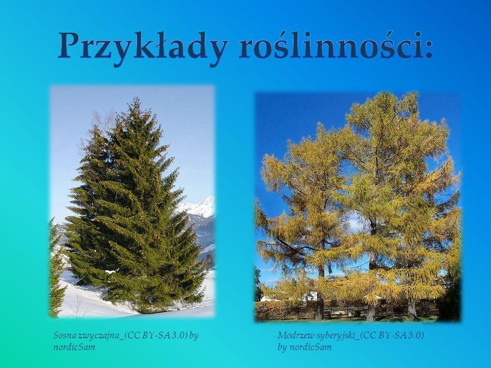 Sosna zwyczajna_(CC BY-SA 3.0) by nordicSam Modrzew syberyjski_(CC BY-SA 3.0) by nordicSam