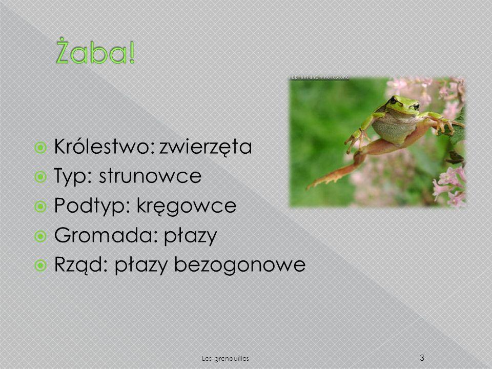 Królestwo: zwierzęta Typ: strunowce Podtyp: kręgowce Gromada: płazy Rząd: płazy bezogonowe 3 Les grenouilles