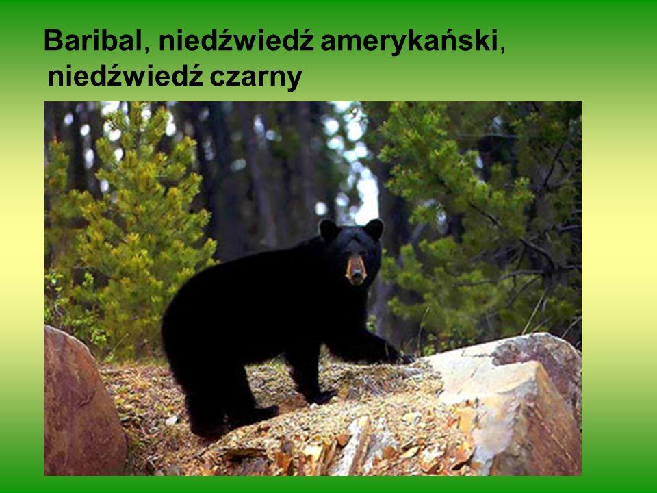 Baribal, niedźwiedź amerykański, niedźwiedź czarny