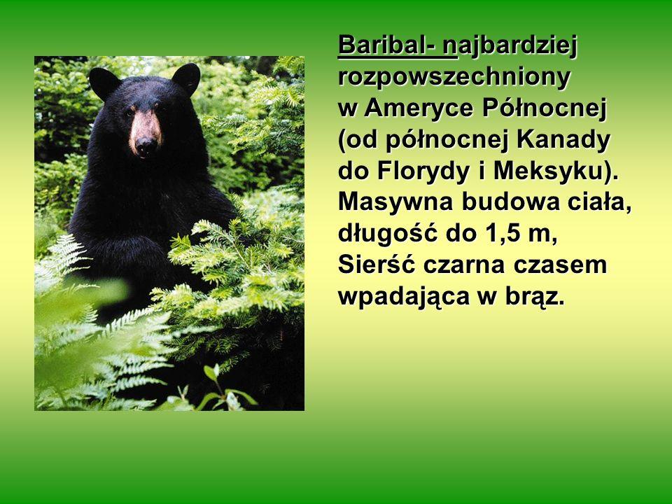 Baribal- najbardziej rozpowszechniony w Ameryce Północnej (od północnej Kanady do Florydy i Meksyku). Masywna budowa ciała, długość do 1,5 m, Sierść c