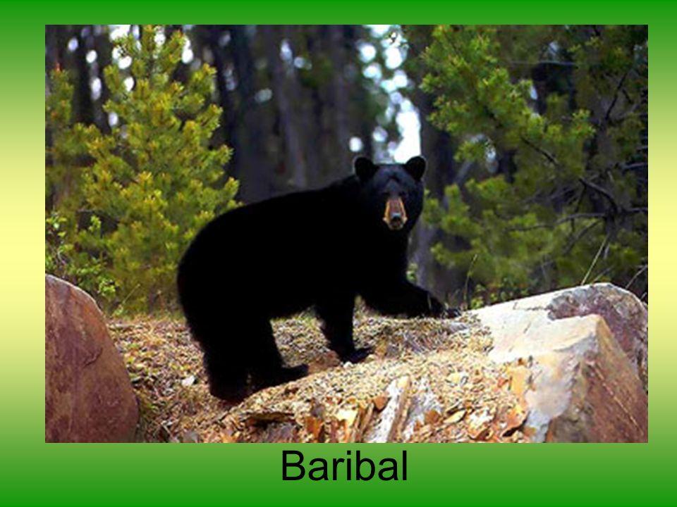 Baribal