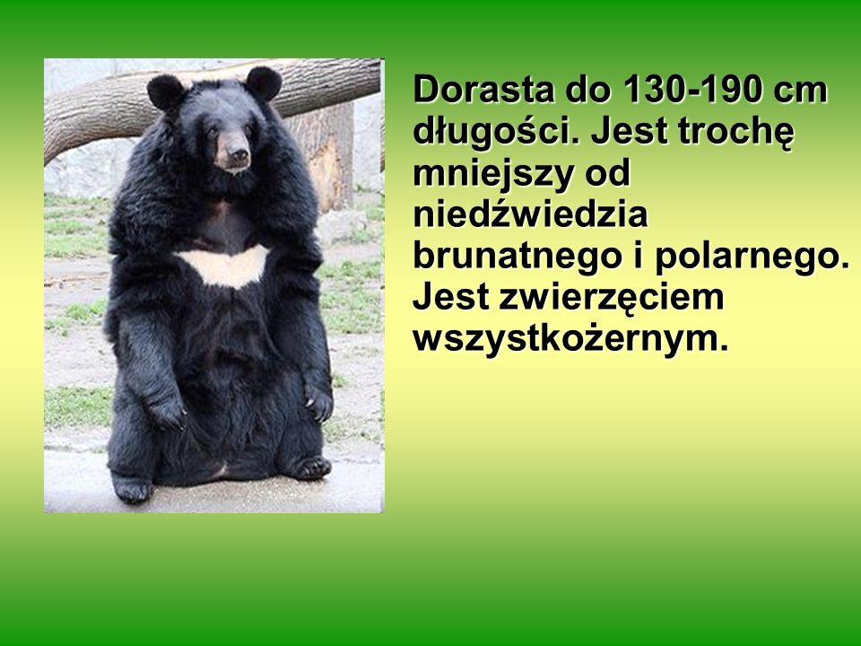 Dorasta do 130-190 cm długości. Jest trochę mniejszy od niedźwiedzia brunatnego i polarnego. Jest zwierzęciem wszystkożernym.