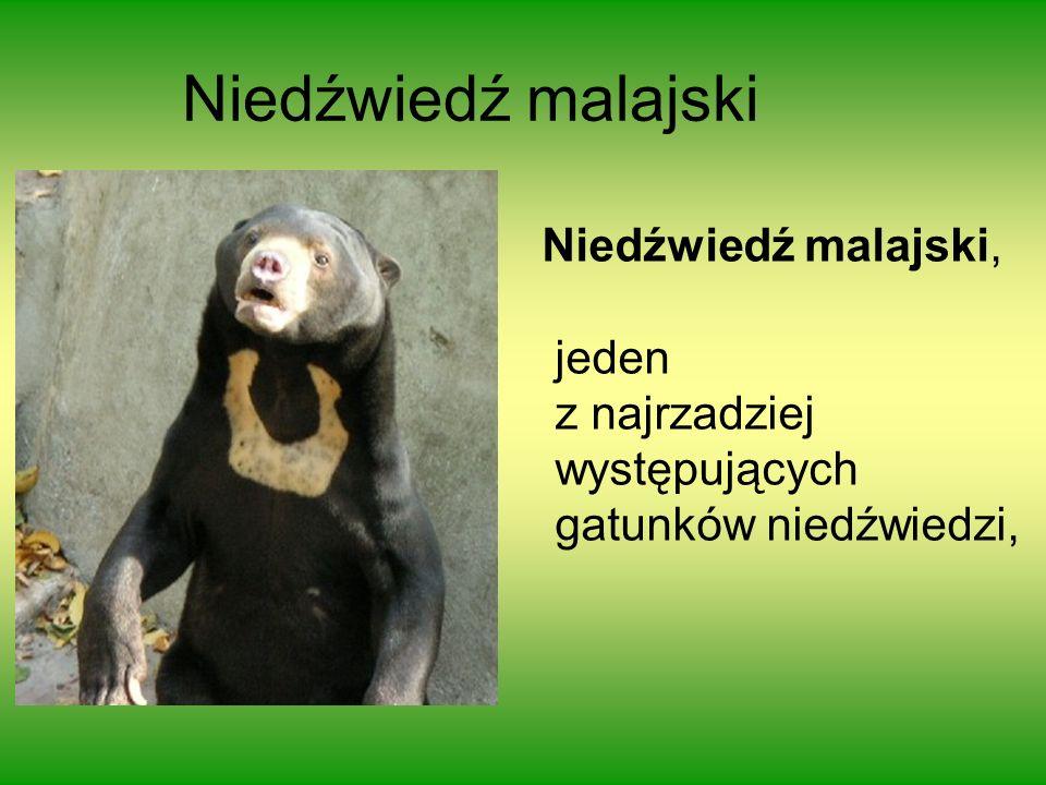 Niedźwiedź malajski Niedźwiedź malajski, jeden z najrzadziej występujących gatunków niedźwiedzi,