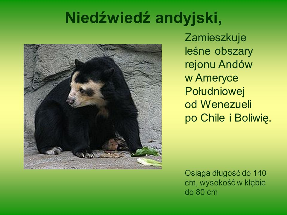 Niedźwiedź andyjski, Zamieszkuje leśne obszary rejonu Andów w Ameryce Południowej od Wenezueli po Chile i Boliwię. Osiąga długość do 140 cm, wysokość