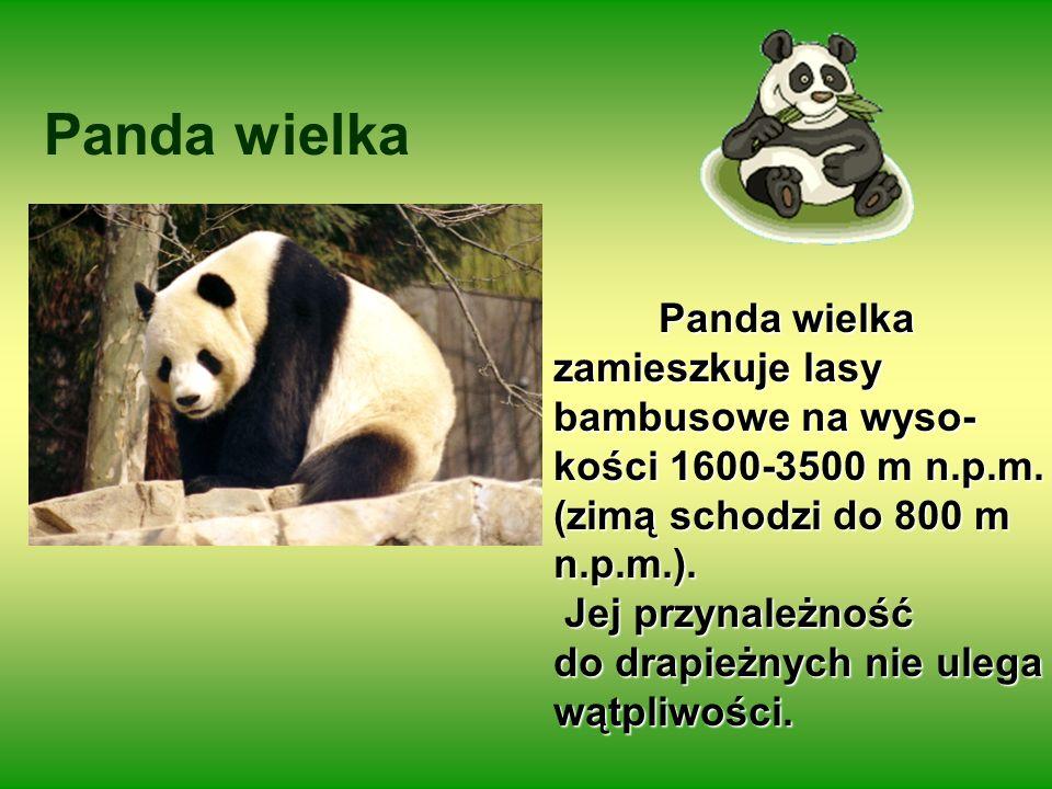 Panda wielka Panda wielka zamieszkuje lasy bambusowe na wyso- kości 1600-3500 m n.p.m. (zimą schodzi do 800 m n.p.m.). Jej przynależność Jej przynależ