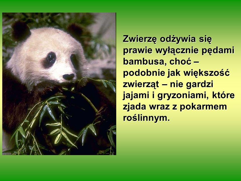 Zwierzę odżywia się prawie wyłącznie pędami bambusa, choć – podobnie jak większość zwierząt – nie gardzi jajami i gryzoniami, które zjada wraz z pokarmem roślinnym.