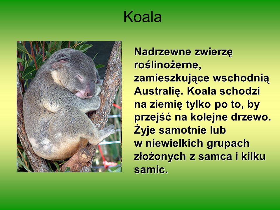 Nadrzewne zwierzę roślinożerne, zamieszkujące wschodnią Australię. Koala schodzi na ziemię tylko po to, by przejść na kolejne drzewo. Żyje samotnie lu