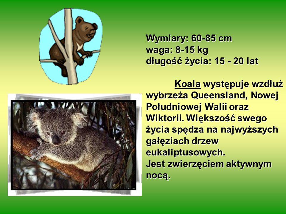 Wymiary: 60-85 cm waga: 8-15 kg długość życia: 15 - 20 lat Koala występuje wzdłuż wybrzeża Queensland, Nowej Południowej Walii oraz Wiktorii.