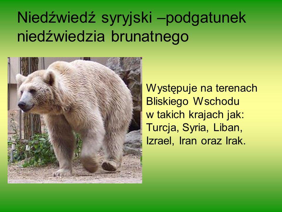 Występuje na terenach Bliskiego Wschodu w takich krajach jak: Turcja, Syria, Liban, Izrael, Iran oraz Irak. Niedźwiedź syryjski –podgatunek niedźwiedz