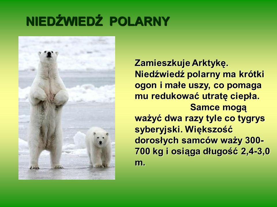 NIEDŹWIEDŹ POLARNY Zamieszkuje Arktykę. Niedźwiedź polarny ma krótki ogon i małe uszy, co pomaga mu redukować utratę ciepła. Samce mogą ważyć dwa razy