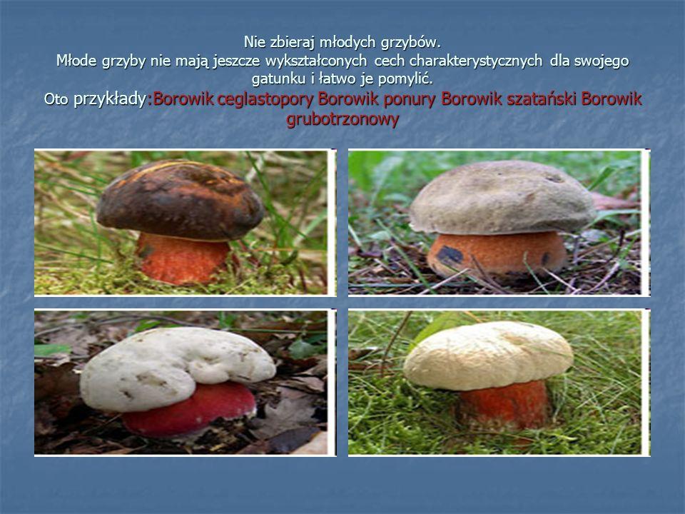 Nie zbieraj młodych grzybów.