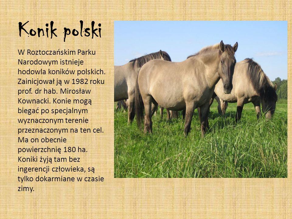 Konik polski W Roztoczańskim Parku Narodowym istnieje hodowla koników polskich. Zainicjował ją w 1982 roku prof. dr hab. Mirosław Kownacki. Konie mogą