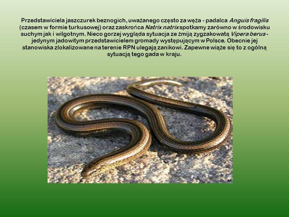 Przedstawiciela jaszczurek beznogich, uwa ż anego cz ę sto za w ęż a - padalca Anguis fragilis (czasem w formie turkusowej) oraz zaskro ń ca Natrix natrix spotkamy zarówno w ś rodowisku suchym jak i wilgotnym.