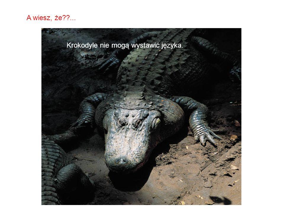 SABIAS QUE… Krokodyle nie mogą wystawić języka. A wiesz, że??...