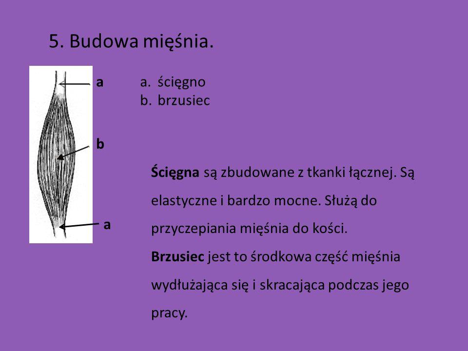 5.Budowa mięśnia. a b a a.ścięgno b.brzusiec Ścięgna są zbudowane z tkanki łącznej.