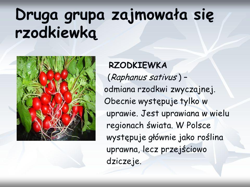 Druga grupa zajmowała się rzodkiewką RZODKIEWKA (Raphanus sativus ) – odmiana rzodkwi zwyczajnej. Obecnie występuje tylko w uprawie. Jest uprawiana w
