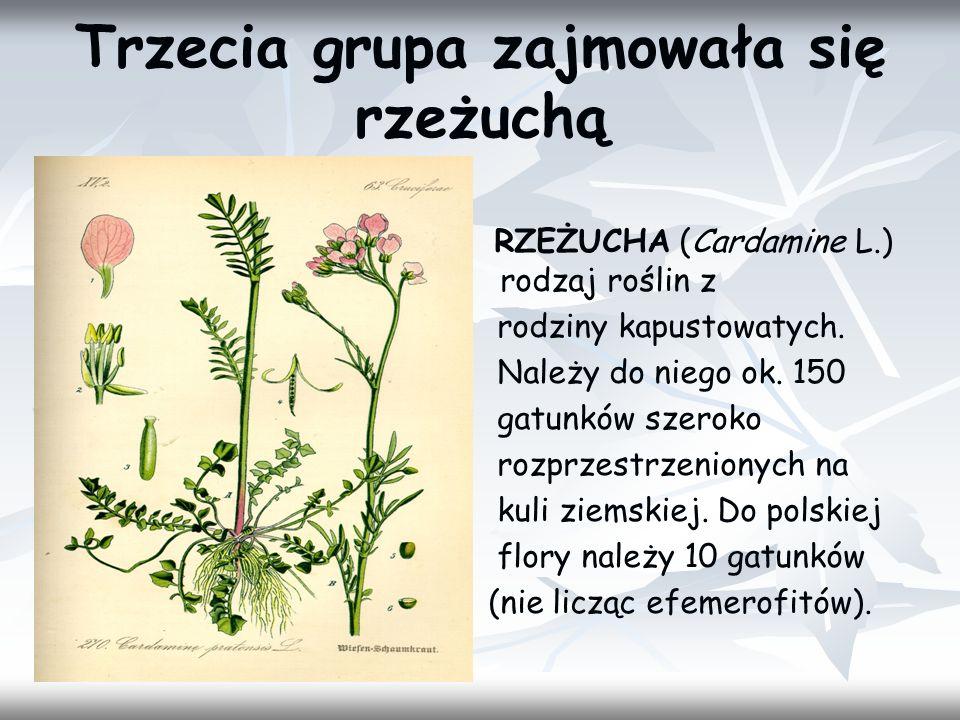 Trzecia grupa zajmowała się rzeżuchą RZEŻUCHA (Cardamine L.) – rodzaj roślin z rodziny kapustowatych. Należy do niego ok. 150 gatunków szeroko rozprze