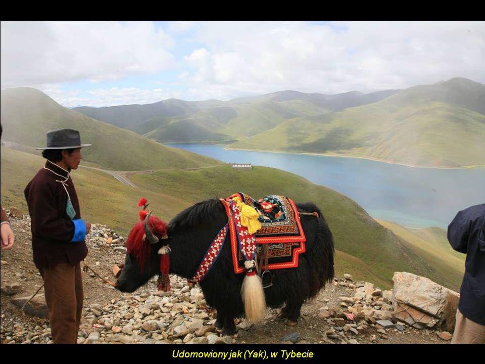 Jezioro Yamdrok Yumtso położone wysoko w górach na skraju płaskowyżu (4441 m n.p.m.) jest miejscem pielgrzymek.