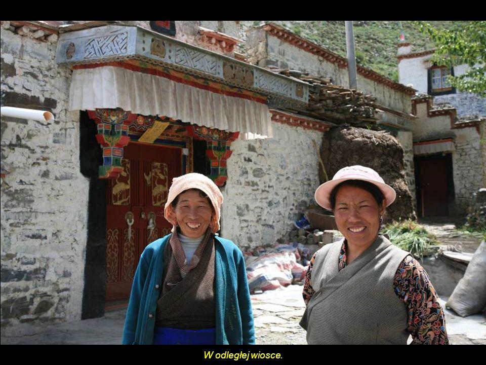 Udomowiony jak (Yak), w Tybecie