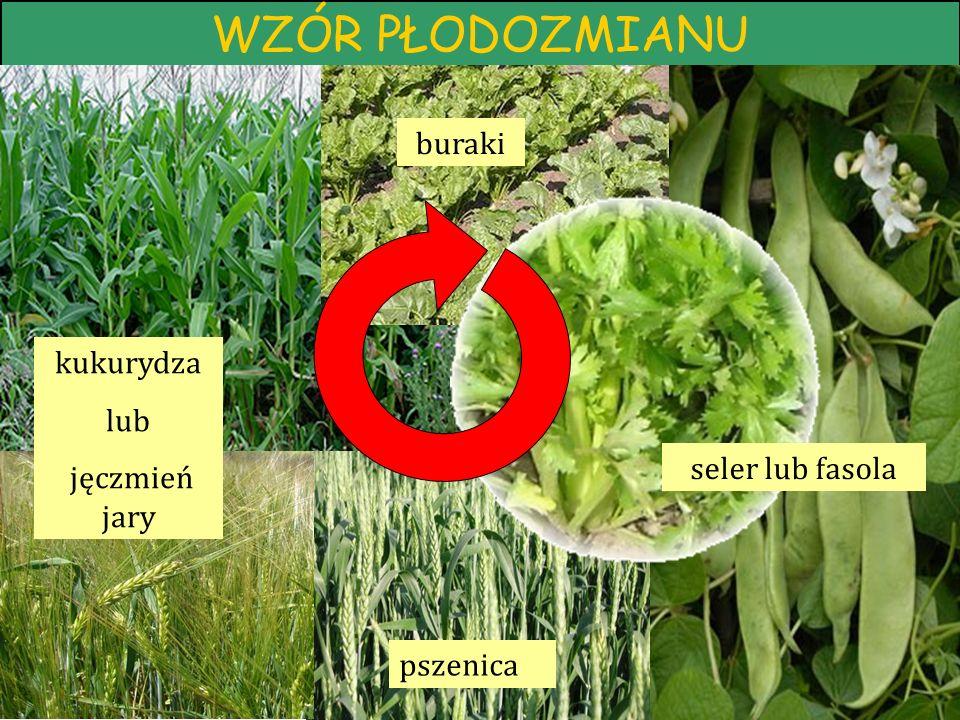 WZÓR PŁODOZMIANU pszenica kukurydza lub jęczmień jary buraki seler lub fasola