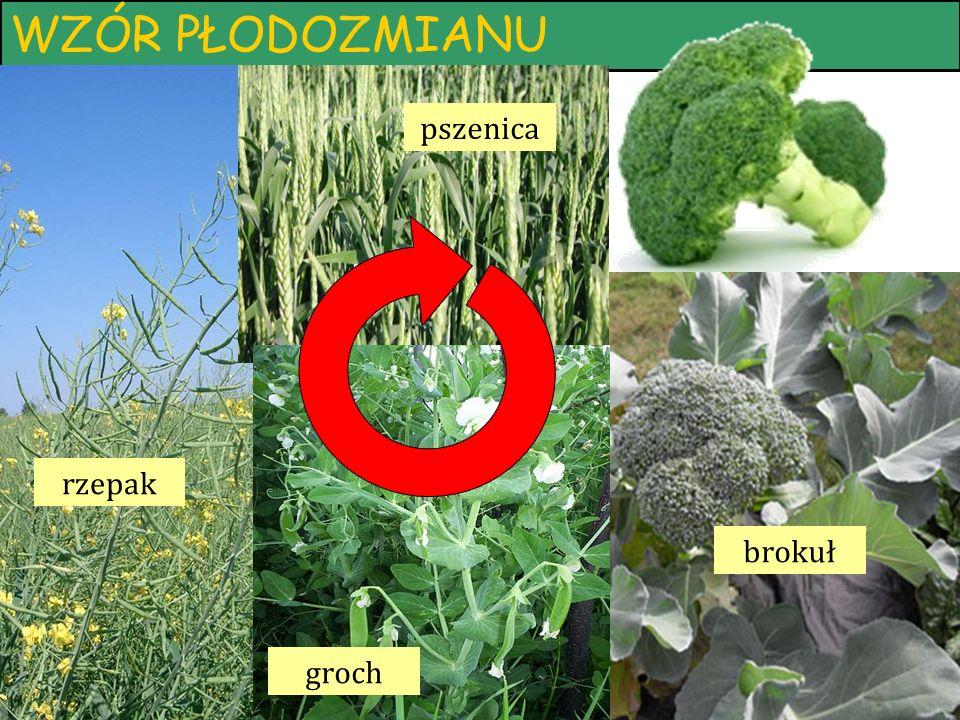 WZÓR PŁODOZMIANU brokuł pszenica groch rzepak