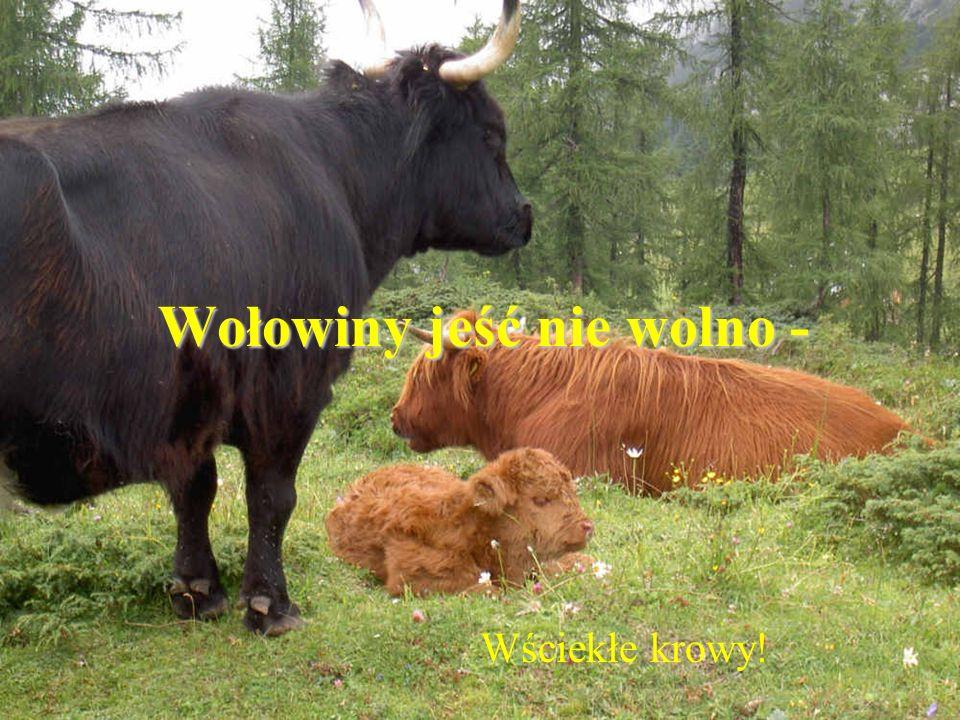 Wołowiny jeść nie wolno - Wściekłe krowy!