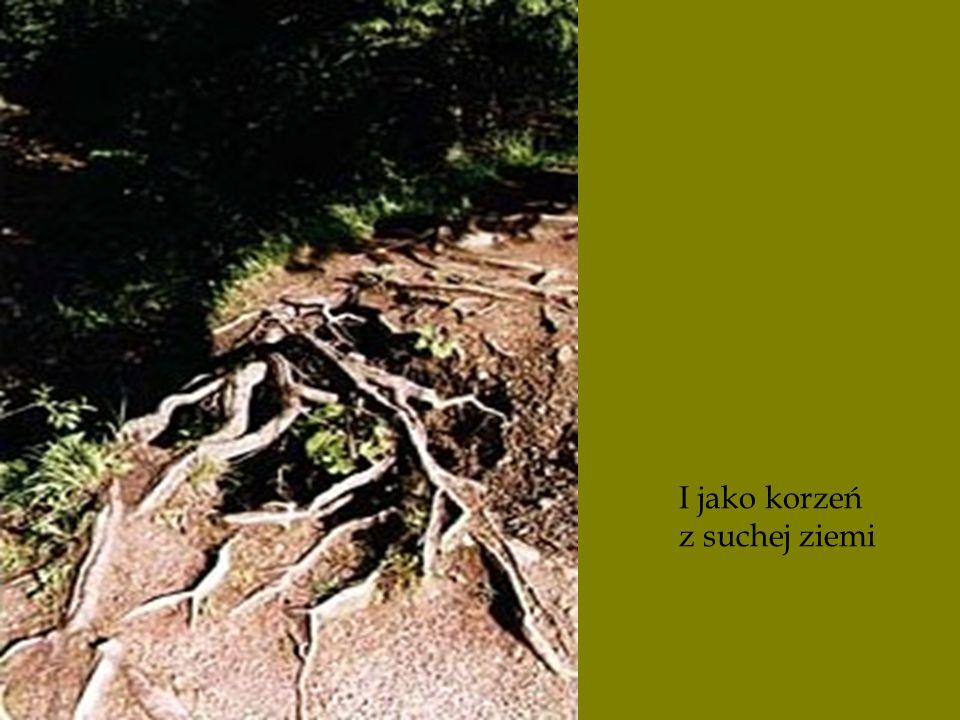 I jako korzeń z suchej ziemi