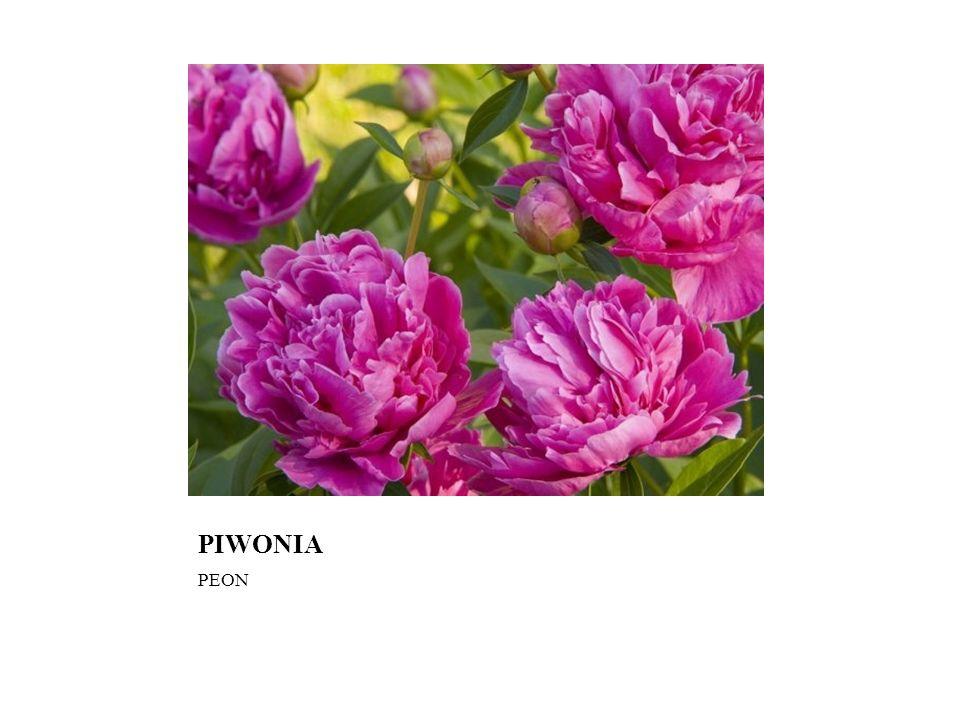 PIWONIA PEON
